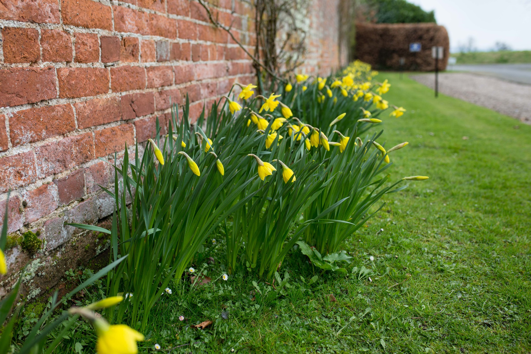Delbury Hall daffodils in early bloom Spring wedding